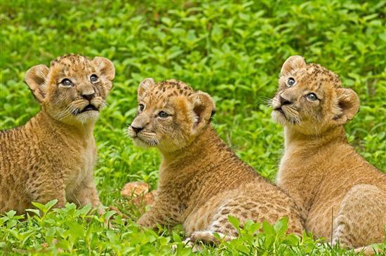 豹 豹子 壁纸 动物 猫科 桌面 550_365