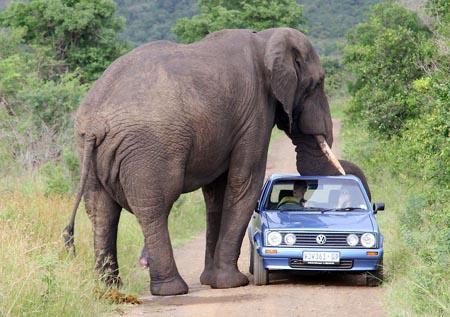 科技时代_南非动物园野生大象压瘪游客车顶(图)