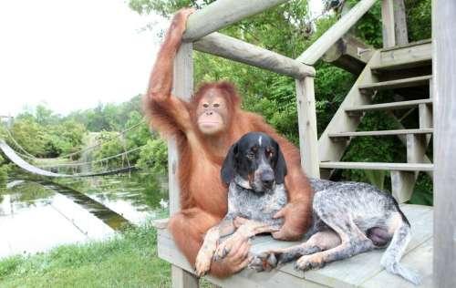 美国猩猩带流浪狗遛弯成形影不离好友(组图)