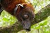 世界最大蝙蝠将灭绝