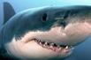 大白鲨咧嘴微笑