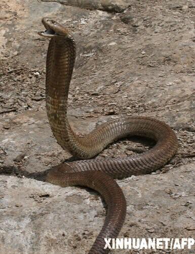 肯尼亚发现世界最大射毒眼镜蛇(组图)