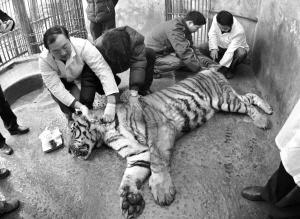 """重庆动物园狮子老虎领取""""电子身份证"""""""