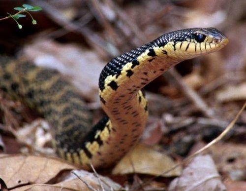 马达加斯加奇妙生物:巨型叶尾壁虎(组图)(3)