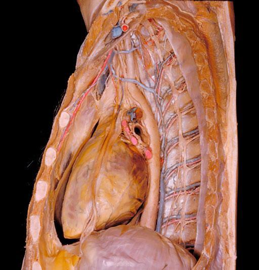 迄今最详细人体解剖照片:窥视你的胸腔