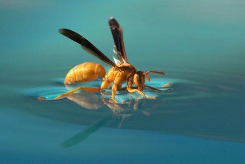 美刊十佳微距照片:水池上取水的黄胡蜂