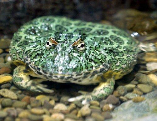 全球10种最怪异青蛙:透明蛙内脏可见(组图)