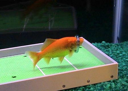 世界上最聪明的鱼会玩水上足球灌篮(组图)(2)