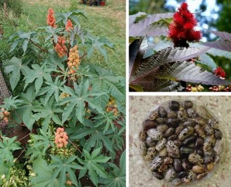 16种剧毒植物揭秘(组图)