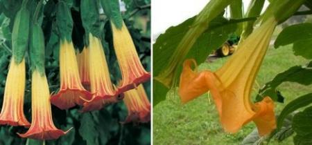 16种剧毒植物揭秘(组图)(2)