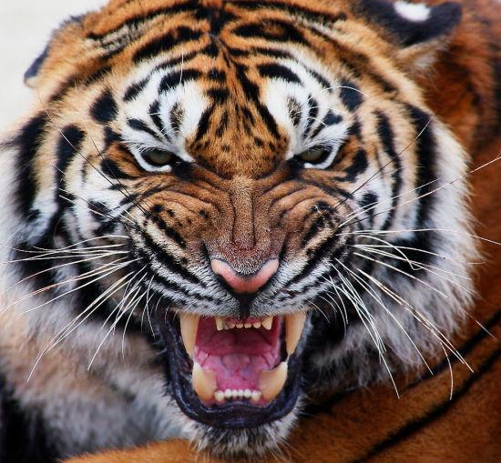 动物愤怒的样子