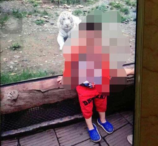 小男孩与白虎的合影