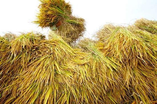 女童坐稻谷堆上 谷粒钻入体内发芽