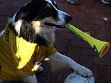 会吹呜呜祖拉的巴西球迷狗