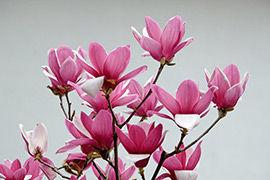 福建:春风吹开紫玉兰