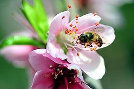 福建:二月桃花引蜂来