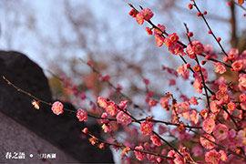 杭州:西子湖畔梅花香