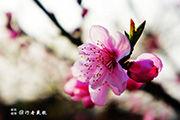 四川:桃花艳色