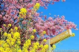 日本:坐着电车赏樱花