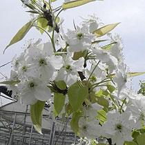 洁白如雪的梨花