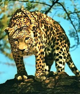 克鲁格公园的南非五大兽