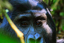 密林深处追踪大猩猩