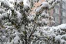 河北:积雪压弯树枝