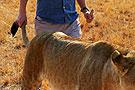 非洲野狮尾巴随便拽