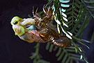 昆虫摄影:蝉蜕变过程