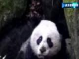 四川野生大熊猫受伤 肠子外露疑遭围攻