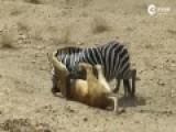 生死较量:斑马被狮子咬脖仍拼死反抗成功挣脱