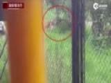 实拍上海野生动物园一群老虎活活咬死狗熊