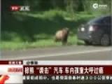 实拍棕熊袭击私家汽车 车内孩童大呼过瘾