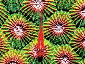 小虾虎鱼聚精会神的在菊珊瑚上面等待猎物出现