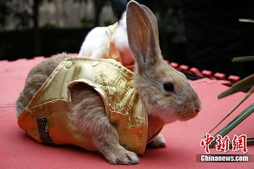 """1月27日,广西南宁动物园专门从美国、德国、日本、比利时等国家引进的熊猫兔、花巨兔、长耳兔、狮子兔等10多种世界珍稀名兔亮相。""""(曾德军摄)"""