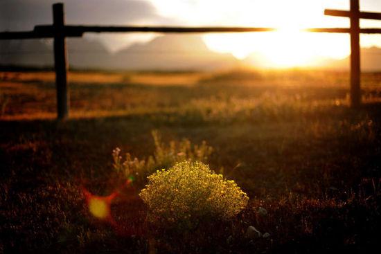 大提顿国家公园种美丽的野花沐浴在暮光之中(8月6日摄)。