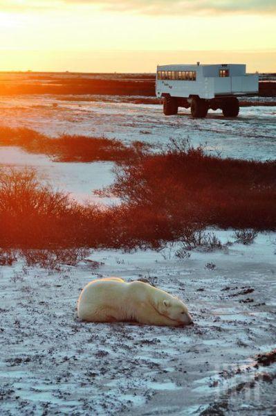 夕阳下小睡的白熊周身有圈金色轮廓