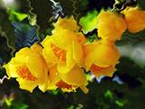 珍稀植物金花茶