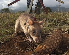 英雄鼠小弟 非洲巨鼠扫雷建奇功