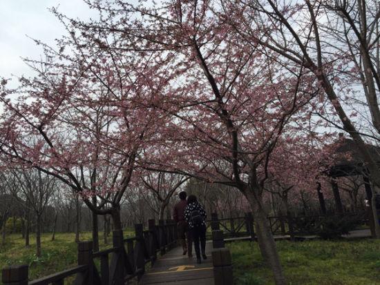 游客观赏樱花盛开