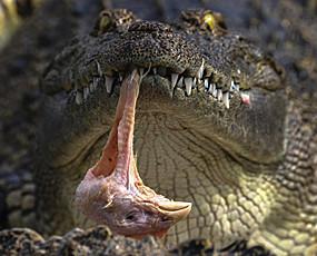 走进神秘又略恐怖的鳄鱼养殖场