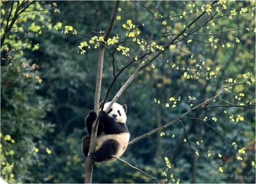 熊猫首都 全球征集熊猫宝贝