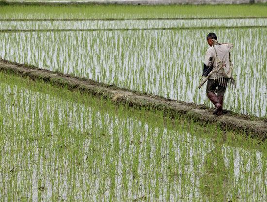 柳州融安种植超级稻面积超7000公顷(图)