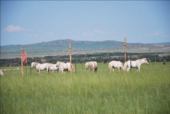 西乌旗举行优良畜种展示暨竞赛评比活动