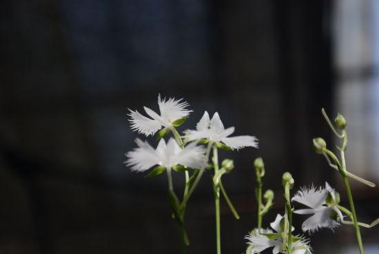 北京植物园首次展出白鹭草