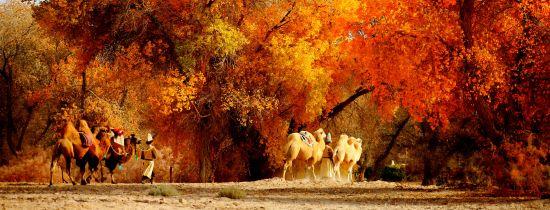 巴楚胡杨――秋天的图腾