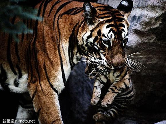 母虎叼着幼虎(印度)   Sita那能咬碎脊椎的利齿,在此刻成为温柔的运输工具,将她的孩子转移到新的兽窝。为了保护小老虎免受猎豹、野狗及其他老虎的攻击,她不得不经常这样做。藏好幼崽非常重要,因为她可能会离开24小时或更长时间去猎食。只要有足够的生存空间和猎物,濒危物种就能够繁衍生息,Sita就是一个活生生的例子。摘自《国家地理》1997年12月刊   摄影师:Michael Nichols