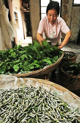 浙江湖州南浔镇一名养蚕妇女在蚕房为大蚕添加鲜桑叶.图片