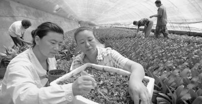 辽宁锦州市兰花铺就致富路
