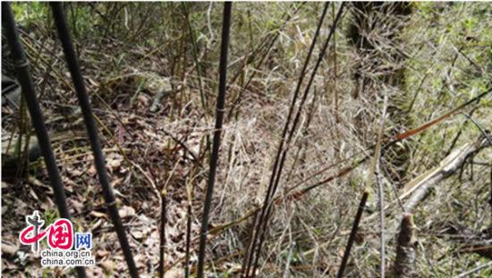 九寨沟生态环境改善 野生大熊猫时隔5年回归